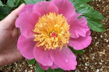 立てば芍薬座れば牡丹、歩く姿は百合の花